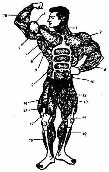 Как нарастить мышцы бедра