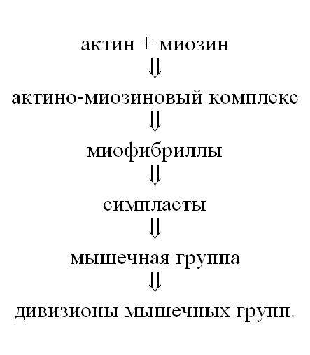 дивизион мышц.